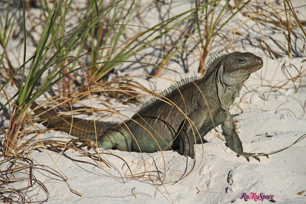Iguana - Little Water Cay