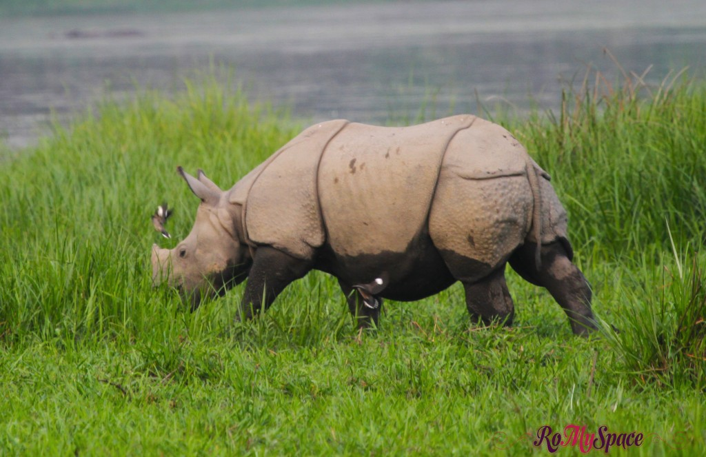 Chitwan Nat. Park - Rinoceronte Indiano