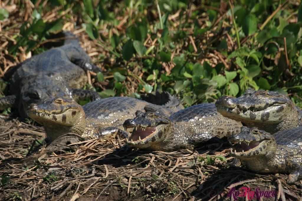 Pantanal - Jacarà