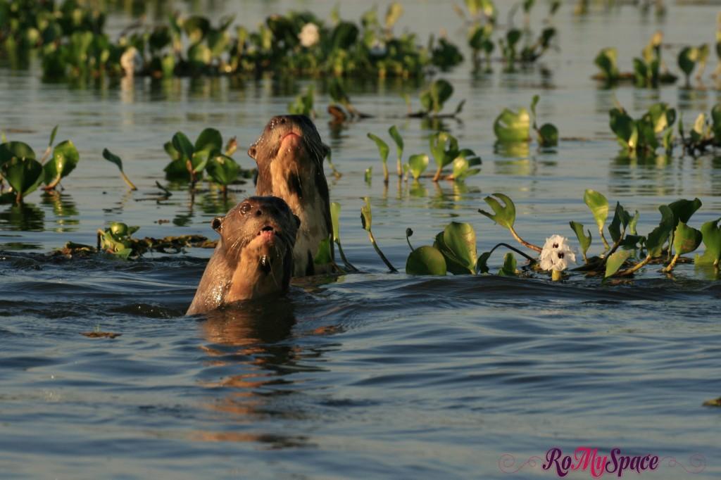 Pantanal - Lontre