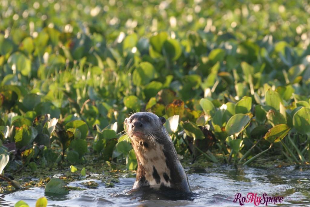 Pantanal - Lontra