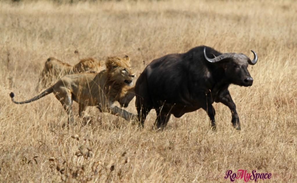Ngorongoro Nat. Park - Leoni attaccano i Bufali