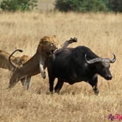 Leoni attaccano un bufalo a Ngorongoro NP