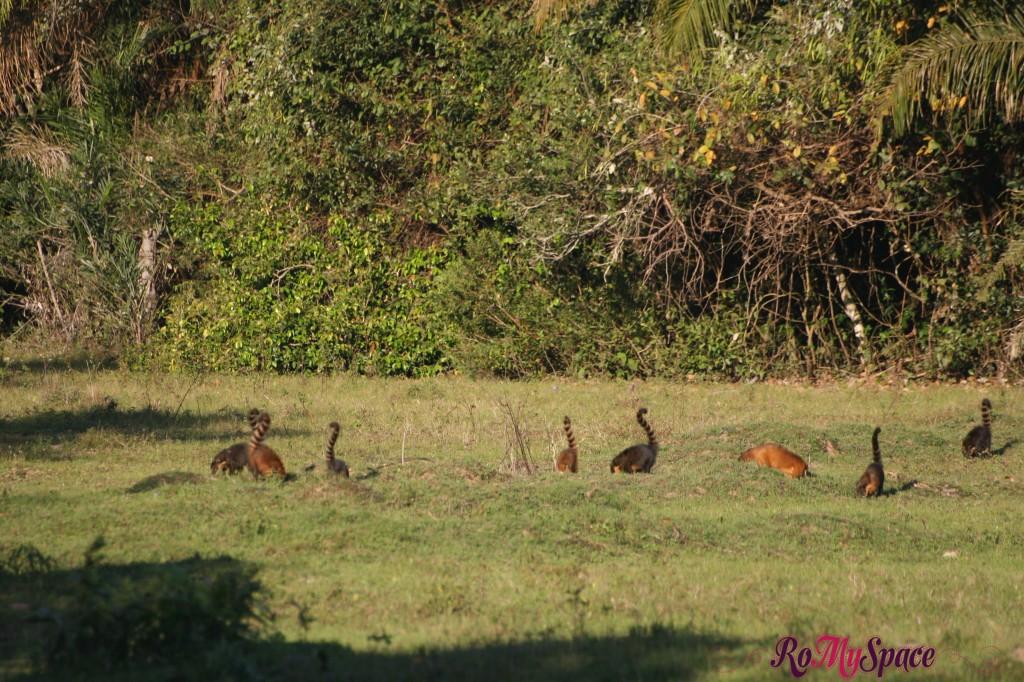 Pantanal - Quati