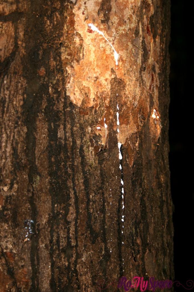 Albero della Gomma - Foresta Amazzonica