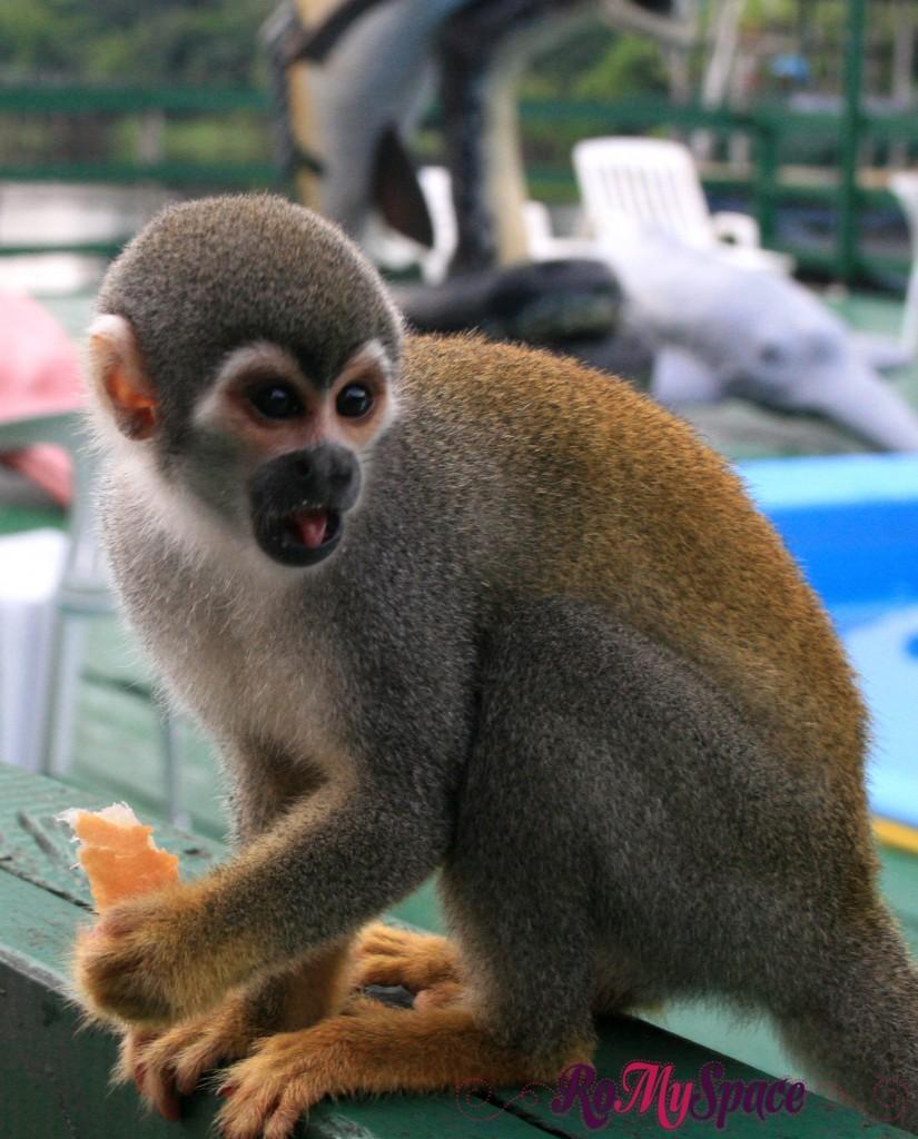 Scimmiette - Ariau Towers sul Rio Negro - Foresta amazzonica
