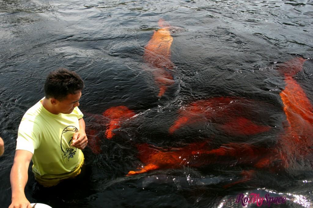 Delfini Rosa dell'Amazzonia