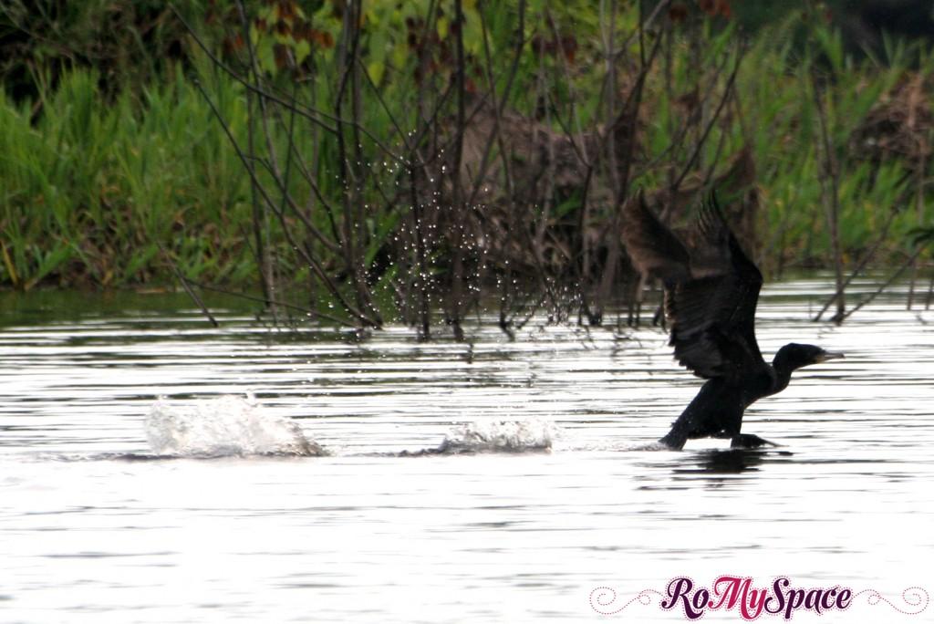 Anatra sul Rio Negro in Amazzonia