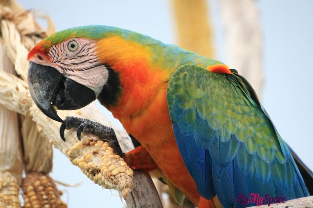 Ara, i meravigliosi pappagalli brasiliani
