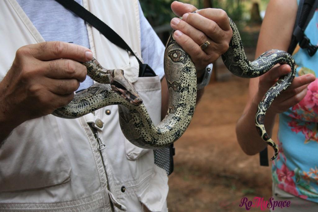Cucciolo di Boa Constrictor in Amazzonia