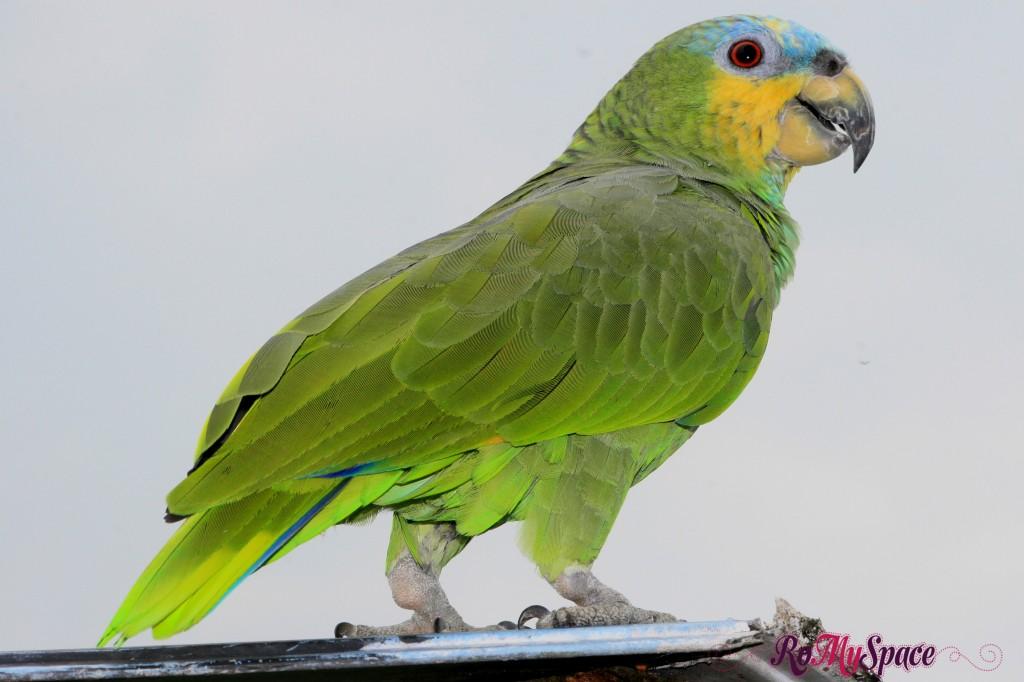 Pappagallo verde