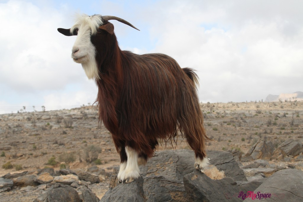 Capra di montagna a Wadi Ghul - Jabel Shams