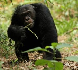 scimpanze lorenzo rossi 2