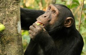 scimpanze lorenzo rossi