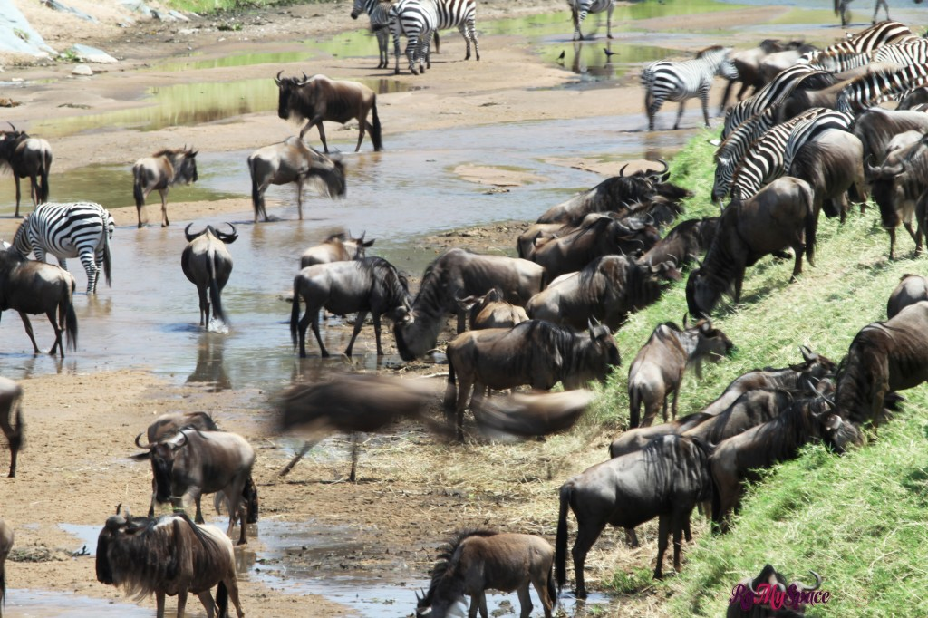 serengeti np_migration_carrie (105)b