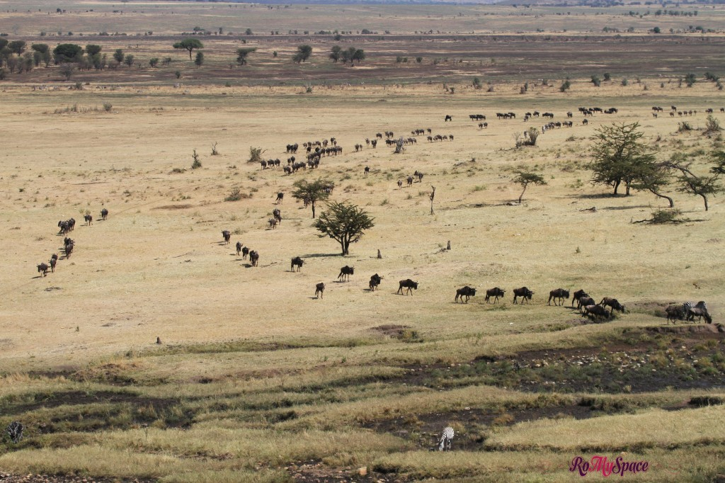 serengeti np_migration_carrie (18)b