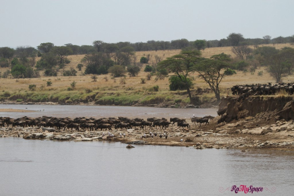 serengeti np_migration_carrie (368)