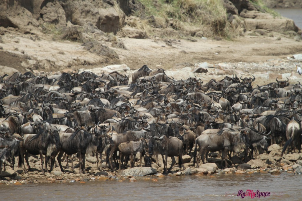 serengeti np_migration_carrie (616)