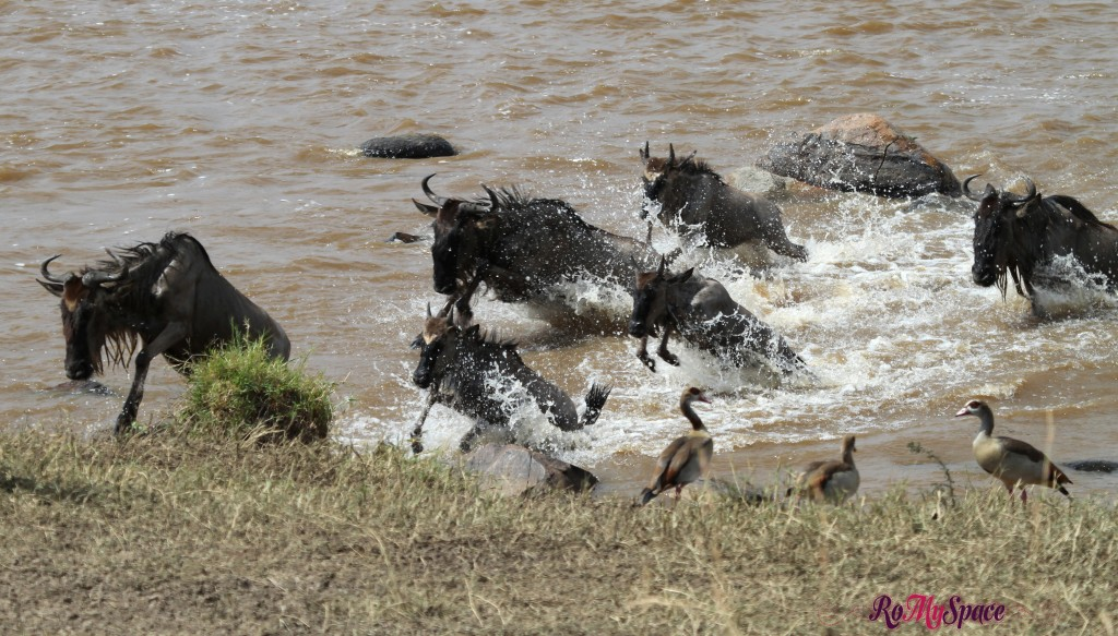 serengeti np_migration_carrie (797)b