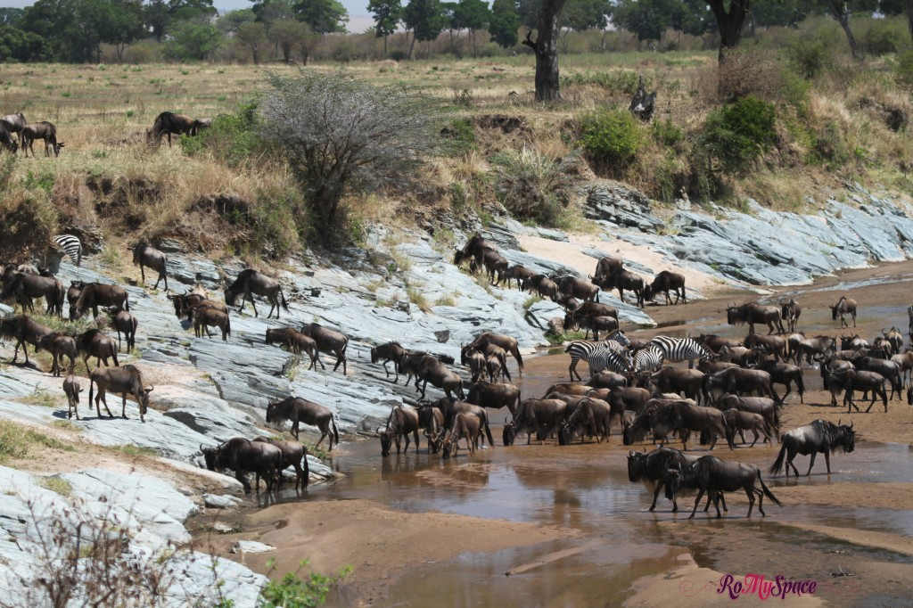 serengeti np_migration_carrie (97)b