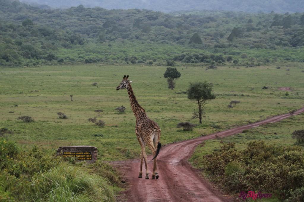 arusha np giraffe