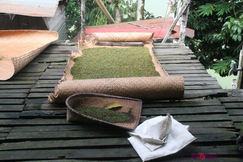 gli iban utilizzano la terrazza delle longhouse per essicare il pepe e altri racoolti