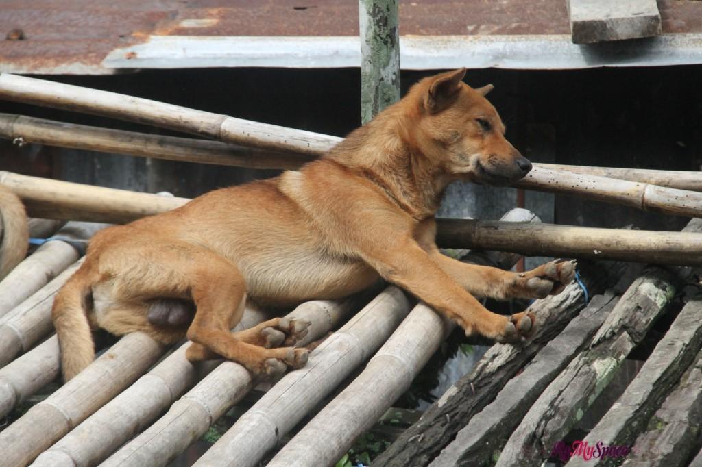 anche i cani vivono nelle longhouse insieme agli iban