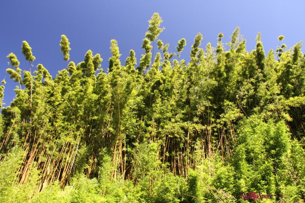 Hana Highway - Foresta di bamboo