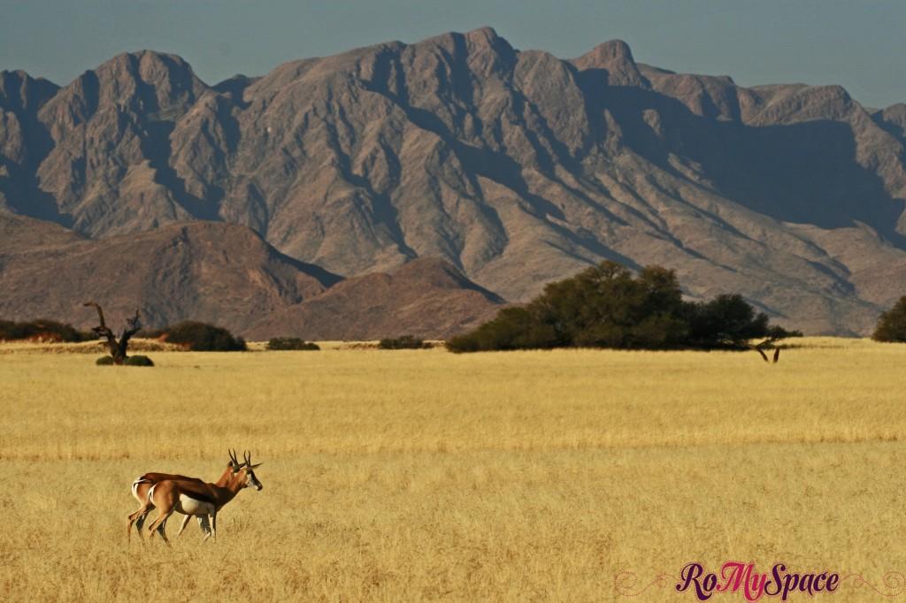 namib desert - springbok