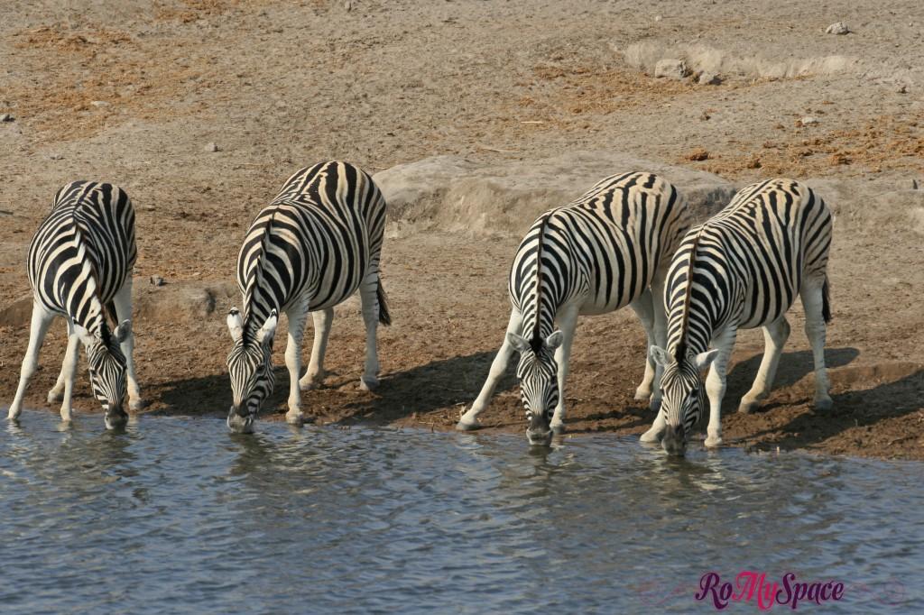 etosha - primo safari - pozza - zebre - carlotta (4)b