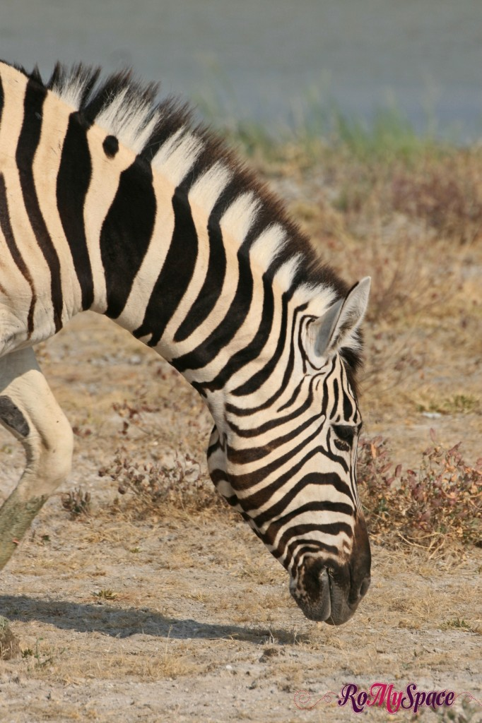 etosha - primo safari - zebre - carlotta - (27)b