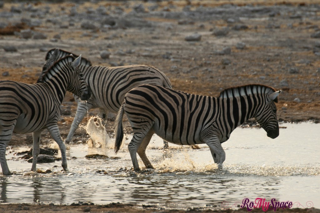 etosha - primo safari - zebre - carlotta (4)b