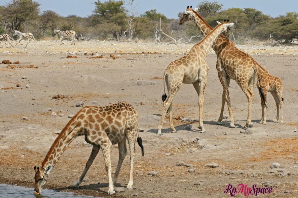 etosha - safari da soli - pozza - giraffe - carlotta (59)b