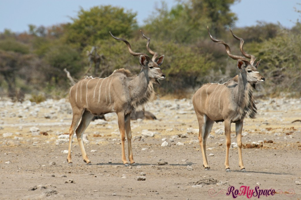 etosha - safari da soli - pozza - kudu - carlotta (28)b