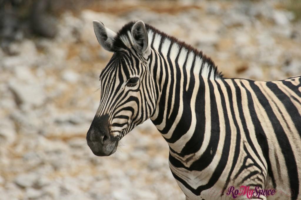 etosha - safari da soli - seconda pozza - zebre - carlotta (11)b