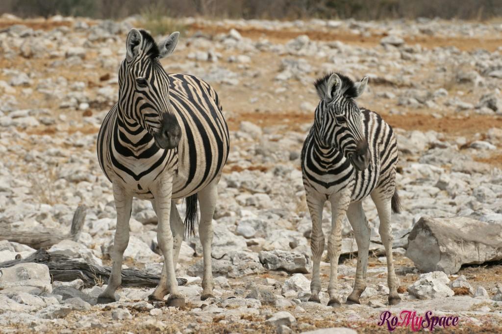 etosha - safari da soli - seconda pozza - zebre - carlotta (20)b