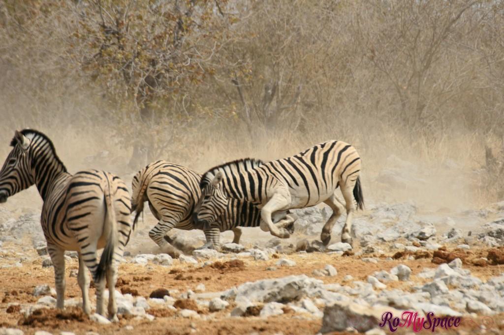 etosha - safari da soli - seconda pozza - zebre - carlotta (41)b
