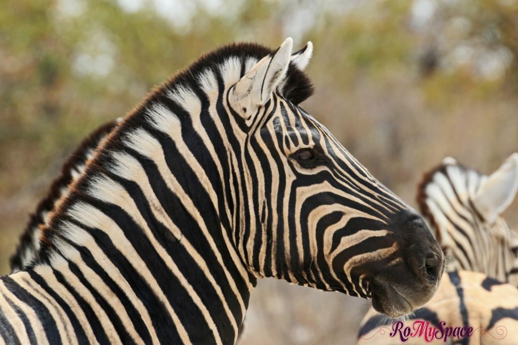etosha - safari da soli - seconda pozza - zebre - carlotta (59)b
