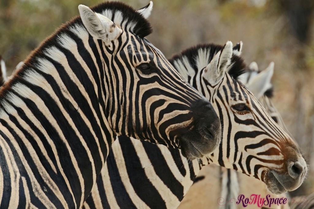 etosha - safari da soli - seconda pozza - zebre - carlotta (75)b