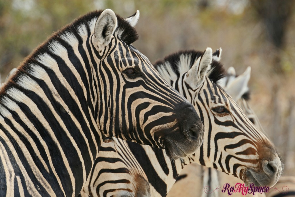 etosha - safari da soli - seconda pozza - zebre - carlotta (76)b