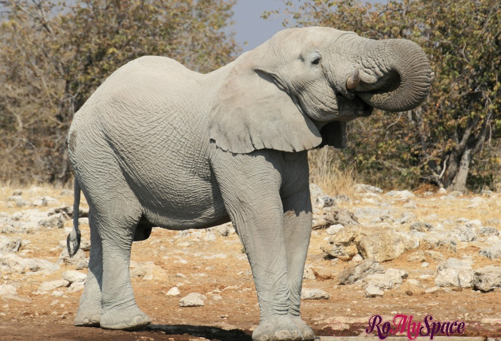 etosha - secondo safari - seconda pozza - elefante - carlotta (3)b