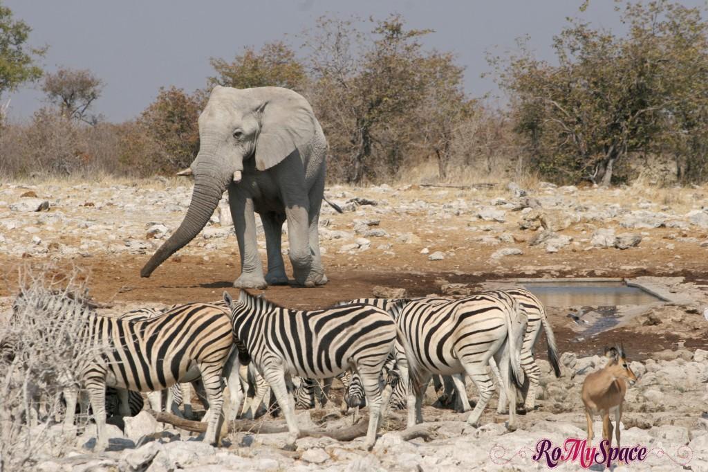 etosha - secondo safari - seconda pozza - elefante e zebre - camilla (0)b
