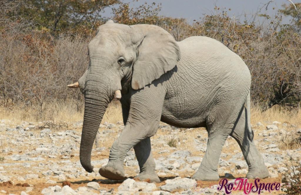 etosha - secondo safari - seconda pozza - elefante e zebre - carlotta (1)b