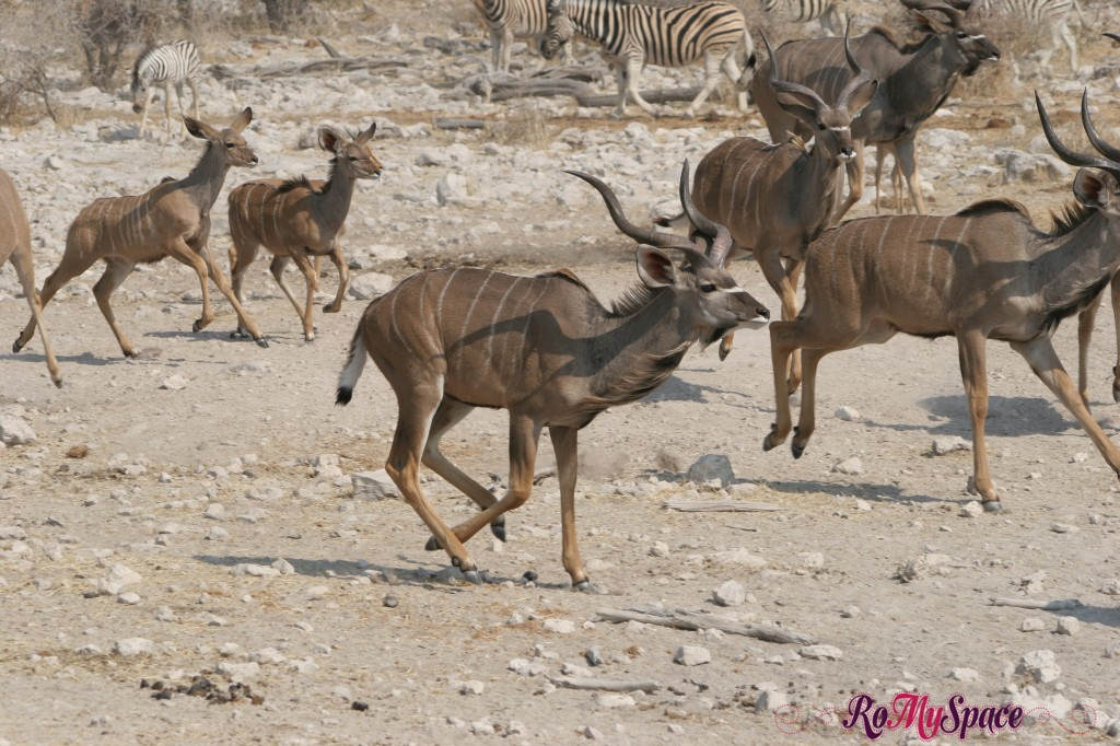 etosha - secondo safari - seconda pozza - kudu fuga - camilla (0)
