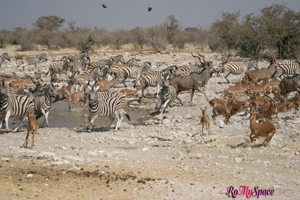 etosha - secondo safari - seconda pozza - tutti in fuga - camilla (0)b