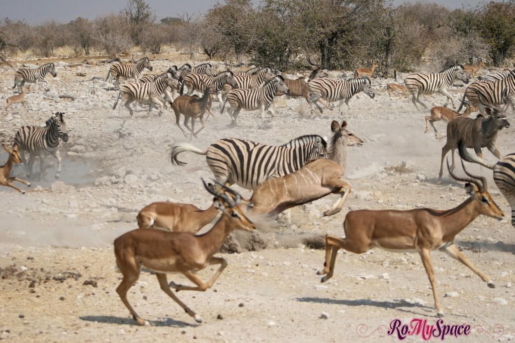 etosha - secondo safari - seconda pozza - tutti in fuga - camilla (10)b