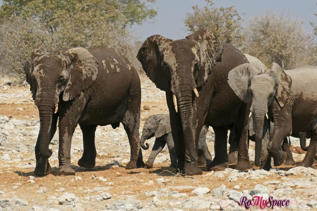 etosha - secondo safari - seconda pozza - zz - elefanti - carlotta (71)b