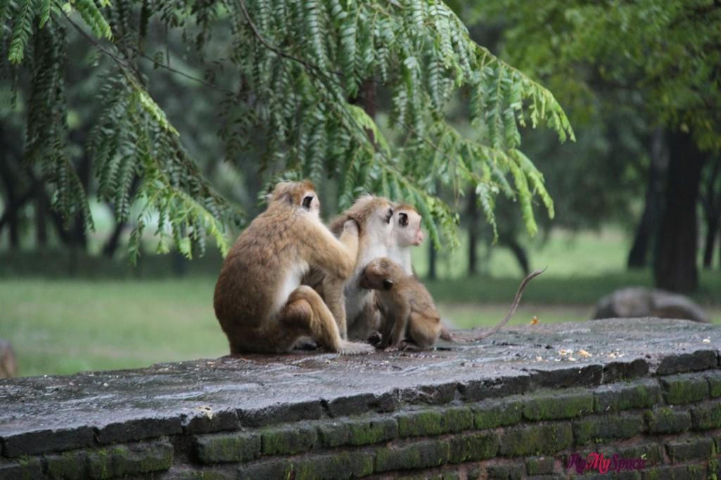 scimmie - polonnaruwa - kiri vihara