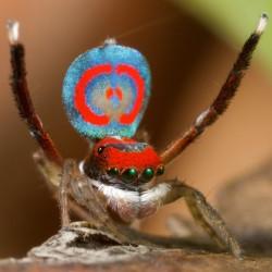 "3 meravigliosi insetti ""pavone"""