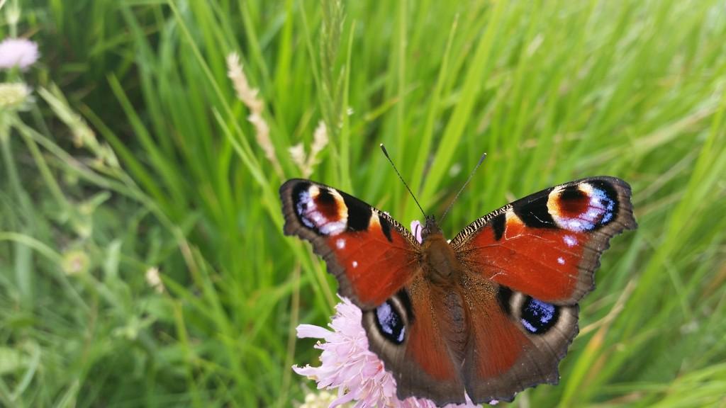farfalla pavone credits sarabrag